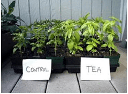 Worm Casting Tea