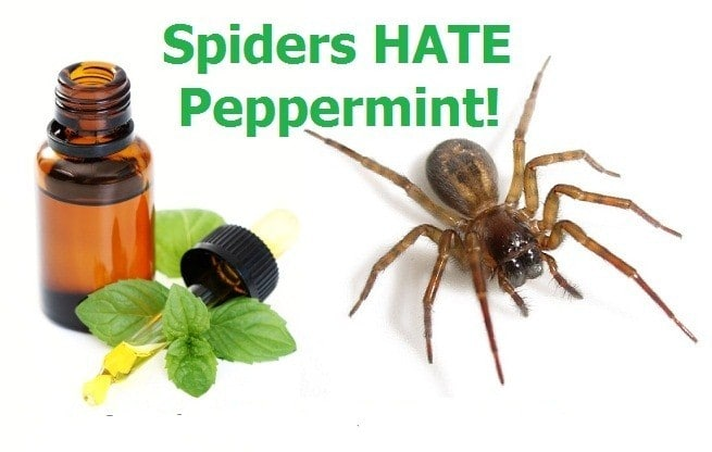 Spiders Hate Peppermint