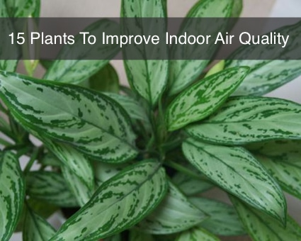 15 house plants to improve indoor air quality homestead for Best plants to improve air quality