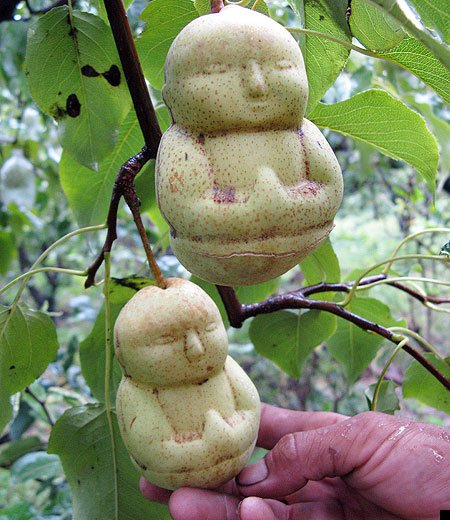 Buddha Shaped Pears