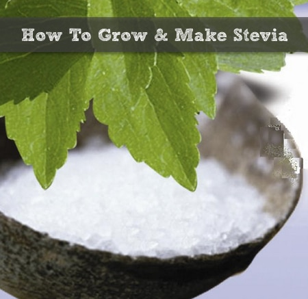 How To Grow Stevia Amp Make Stevia Extract Homestead