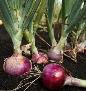 Grow Onions From Seeds