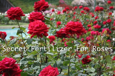 The Secret Fertilizer To Grow Beautiful Roses