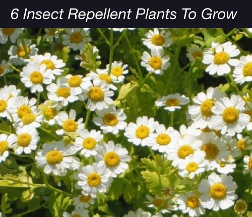 6 Insect Repellent Plants To Grow