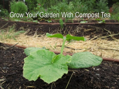 Compost Tea For Garden, Squash Plant