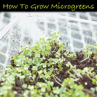 Grow Microgreens Indoors