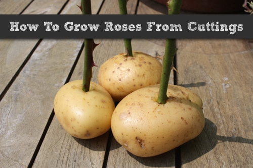 How To Grow New Rose Bushes From Cuttings Homestead