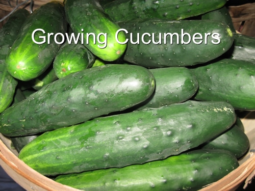 Ways To Grow Cucumbers - Homestead & Survival