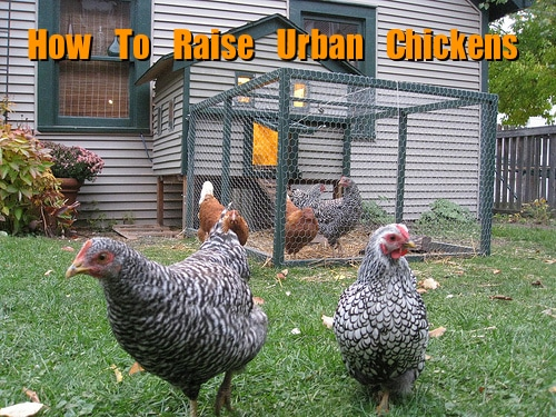 How To Raise Backyard Urban Chickens