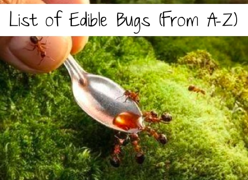List Of Edible Bugs (From A-Z)