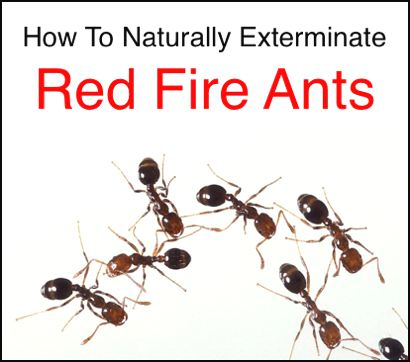 Natural-Extermination-Of-Red-Fire-Ants