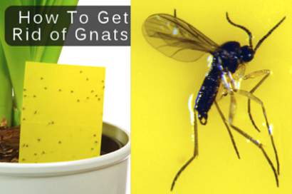 How-To-Get-Rid-Of-Gnats