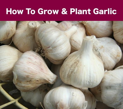 How To Grow And Plant Garlic