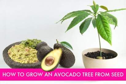 How-To-Grow-Avocado-Tree-From-An-Avocado-Pit
