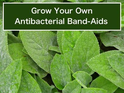 Grow AntiBacterial Band-Aids