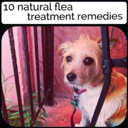 10-Natural-Flea-Treatment-Remedies