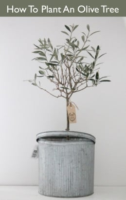 How-To-Plant-An-Olive-Tree