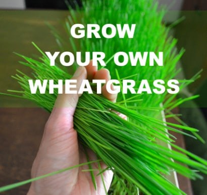 Grow-Your-Own-Wheatgrass