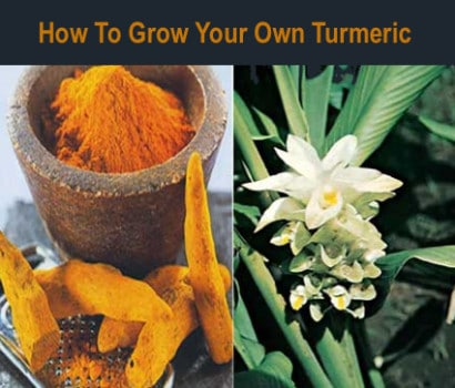 How-To-Grow-Your-Own-Turmeric