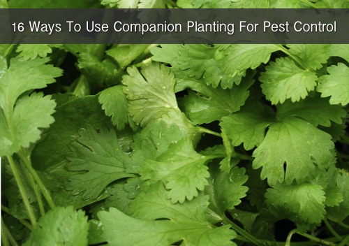 16 Ways To Use Companion Planting For Gardening Pest Control
