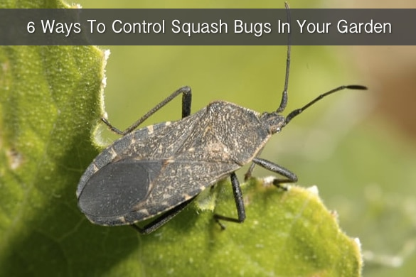 6-Ways-To-Control-Squash-Bugs-In-Your-Garden