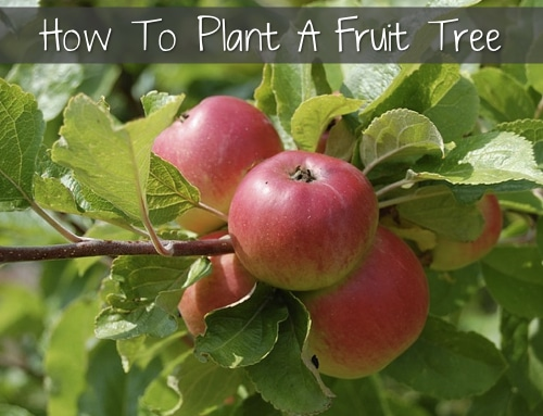 How-To-Plant-A-Fruit-Tree