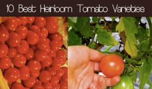 The Best Heirloom Tomato Seed Varieties