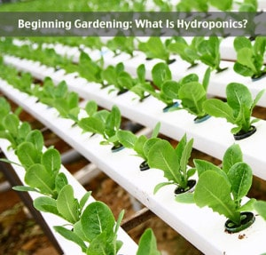 Beginning Gardening: What Is Hydroponics?