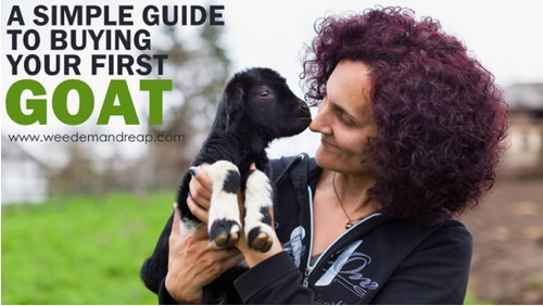 Complete-Guide-To-Buying-Your-First-Goat