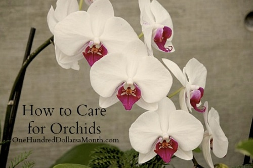 How-To-Care-For-Orchids