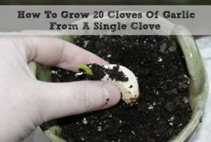 How To Grow 20 Cloves Of Garlic From A Single Clove