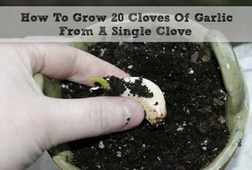 How-To-Grow-20-Cloves-Of-Garlic-From-A-Single-Clove