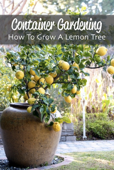 How-To-Grow-A-Lemon-Tree-For-Container-Gardening