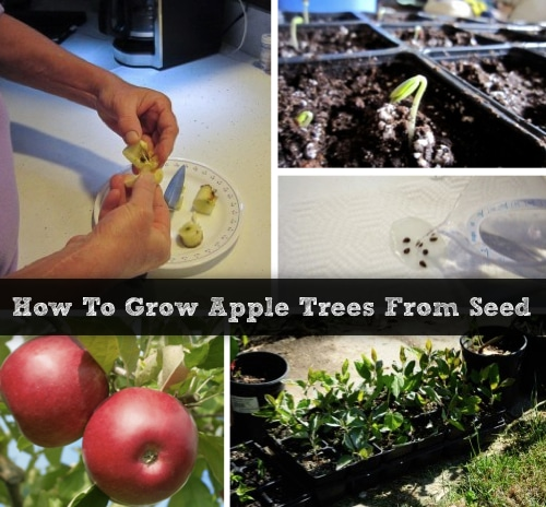 How To Grow Your Own Apple Trees From Seeds
