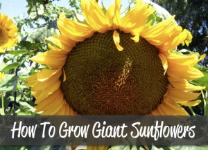How To Grow Giant Sunflowers & A Recipe To Roast Them
