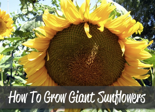 How-To-Grow-Giant-Sunflowers-And-A-Recipe-To-Roast-Them