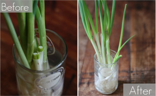 How-To-Grow-Green-Onions-Forever