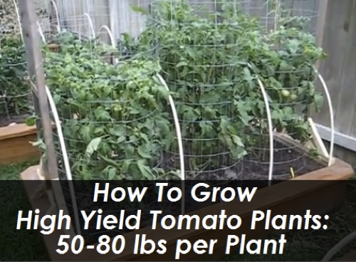 How To Grow High Yield Tomato Plants…50-80 lbs. Per Plant
