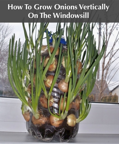 How-To-Grow-Onions-Vertically-One-The-Windowsill