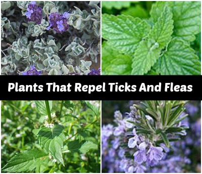plants-that-repel-ticks-and-fleas