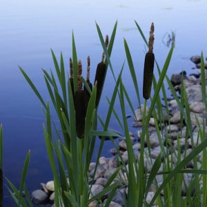 4 Ways To Use The Incredible Cattail For Survival