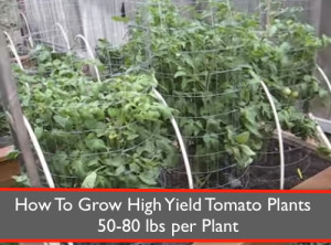 How To Grow High Yield Tomato Plants: 50-80 lbs per Plant