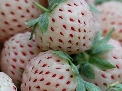 How-To-Grow-Pineberries