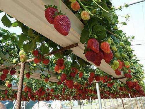 How-To-Grow-Strawberries-In-Rain-Gutter-Planters