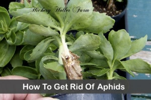 How To Make A Garlic Spray To Get Rid Of Aphids