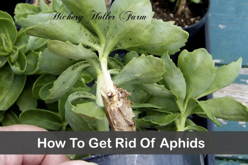 How-To-Make-Garlic-Spray-To-Get-Rid-Of-Aphids
