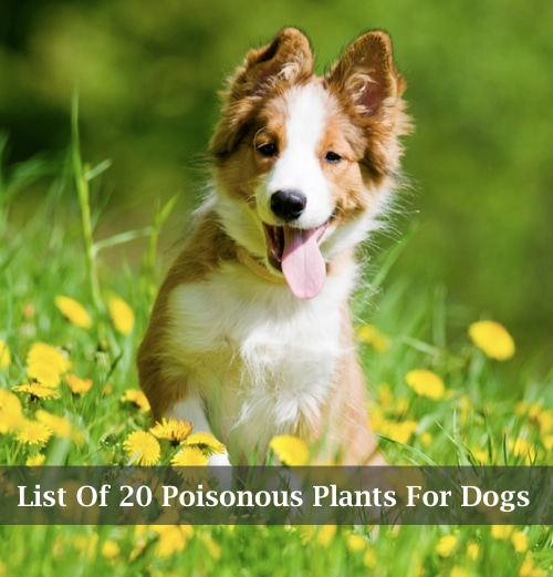 List-Of-20-Poisonous-Plants-For-Dogs