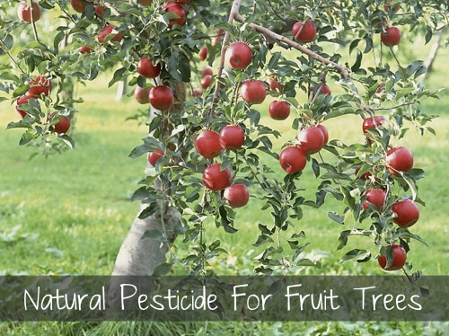 Natural Pesticide For Fruit Trees