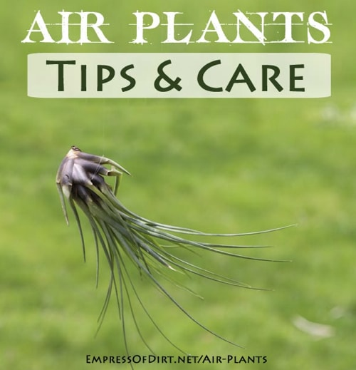 Air Plants Tips & Care