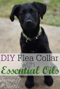 DIY Flea Collar Using Essential Oils